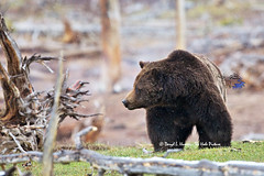 Snaggletooth the Grizzly Bear (Daryl L. Hunter - The Hole Picture) Tags: usa closeup unitedstates wildlife yellowstonenationalpark snowing grizzlybear mudvolcano daryllhunter snaggletooththegrizzlybear boargrizzly