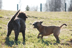DSC_0171 (juliapee) Tags: dogs spring borderterrier dogsplaying lagotto romangolo