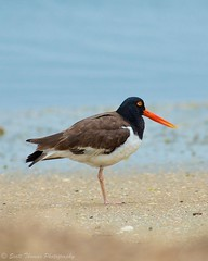 Your Photography Passion (Scottwdw) Tags: bird beach nature water newjersey nikon wildlife atlanticcity oystercatcher oneleg haematopusfinschi forsythenationalwildliferefuge afvrzoomnikkor80400mmf4556ded d7000 scottthomasphotography