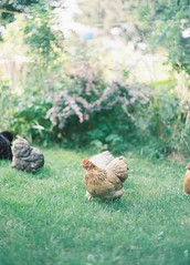 Chickens (James F Shaw) Tags: summer colour chicken film home garden happy 50mm grain analogue manual bantam kodakgold200 yashicafr1