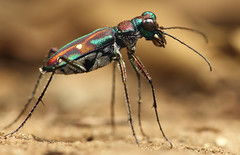 Tiger Beetle (karthik Nature photography) Tags: mountain macro nature colors animals closeup forest canon outdoors photography wildlife beetle insects bugs flies tigerbeetle macrophotography closeupphotography insectworld macroworld sigma105mm insectphotography macrolife beetlehabitat beetleinindia