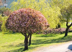 Monet View (knightbefore_99) Tags: view harrisonhotsprings monet cherry tree beach lake lawn pink green harrison flowers bc vpu2 cool nice life sky art best