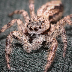 Tan Jumping spider (Platycryptus undatus) (DaveHuth) Tags: ny yard spider arachnid porch houghton jumpingspider animalia arthropoda arachnida arthropod araneae platycryptus platycryptusundatus salticidae taxonomy:kingdom=animalia taxonomy:class=arachnida taxonomy:order=araneae taxonomy:phylum=arthropoda taxonomy:family=salticidae tanjumpingspider taxonomy:binomial=platycryptusundatus taxonomy:species=undatus taxonomy:genus=platycryptus taxonomy:common=tanjumpingspider inaturalist:observation=260547