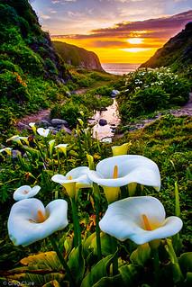 Calla Lily Sunset, Big Sur