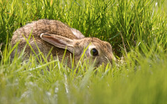 Leveret Keeping Still (alone68) Tags: nature canon hare wildlife stodmarsh nnr leveret
