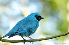 Azul Macho (Josue ( joscello )) Tags: naturaleza bird nature photography photo flickr photographer venezuela aves azulejos iphotography josuerosas