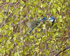 The Kiss 1 of 2 (Richard Bradshaw1) Tags: romance bluetit thekiss silverbirch gardenbirds bluetits newleaf ef100400mmf4556lisusm avianexcellence naturesharmony sunrays5