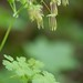 Thalictrum occidentale (Ranunculaceae); Western meadow rue