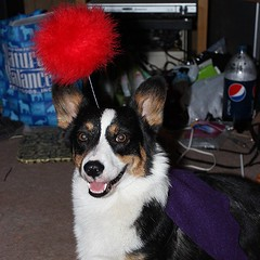 Kiba's Moogle costume (paintballchicka) Tags: square costume corgi cosplay pembrokewelshcorgi gaming gamer squareformat normal finalfantasy welshcorgi kiba moogle iphoneography instagramapp uploaded:by=instagram corgiobsession corgimoogle corgicommunity corgicostume corgicosplay