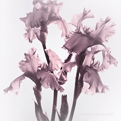 Iris Essence (Jo-Lee Photography & Art) Tags: flowers iris texture beauty square spring gray grain monotone structure fragrant mauve translucent duotone essence blooms elegant delicate bearded sheer stately ruffled crinkles veined