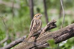 Le Conte's Sparrow (Jeremy Meyer) Tags: bird sparrow milwaukee lakepark lecontessparrow lecontes