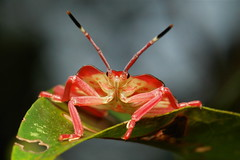 Rosy Red Cheeks (itchydogimages) Tags: china macro bug insect shield yunnan nymph stink hemiptera reddit tessaratomidae tumblr itchydogimages sinobug