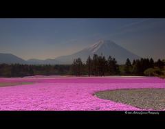 A T h o u s a n d H o u r s (AnthonyGinmanPhotography) Tags: pink flowers fuji mount mtfuji leefilters olympuse620 shibazakuramatsuri
