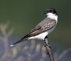 Eastern Kingbird (AllHarts) Tags: memphistn easternkingbird southtreatmentplant goldwildlife naturesspirit pogchallengewinnershalloffame naturesprime naturescarousel naturesprime~halloffame bestofnaturesprime anaturecanvas opticalexcellence thenewperfectioninpictureslevel1