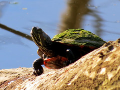 turtle covered with green slime (natureburbs) Tags: spring pond turtles colonialpark turtlesonlog newjerseywildlife easternpaintedturtles