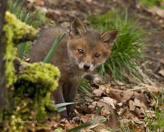 Fox cub (explored)(bbc springwatch photo of the day 15/5/2013 (Glesgastef) Tags: city red wild urban dog nature animal cub scotland photo day glasgow wildlife picture explore bbc fox kit pup vixen easterhouse springwatch bbc1 explored