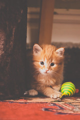 Rosebud got a toy (Kilkennycat) Tags: baby cat canon toy ginger kitten tabby kitty meow 500d kilkennycat t1i ryanconners 100mm28l