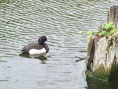 Tufted Duck (Urban Greendom) Tags: male birds canal duck wildlife tufted