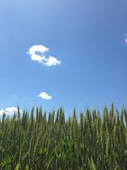 CerealPlus 2.0 - 1686 - Rovigo 13-5-2013 (Image Line) Tags: orzo agricoltura cereali agronotizie syngenta cerealicoltura cerealplus20 syngentaincampo2013
