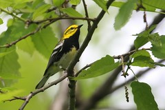 Black-throated Green Warbler - Setophaga virens - Hamilton County, Ohio, USA - May 10, 2013 (mango verde) Tags: ohio usa bird yard migration warbler virens migrant hamiltoncounty blackthroated parulidae setophaga newworldwarblers blackthroatedgreenwarblersetophagavirens