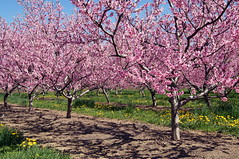 peach blossoms (haunted snowfort) Tags: pink trees ontario spring farm peach orchard niagara peachblossoms beamsville 2013