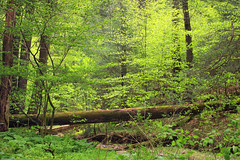Undergrowth (Nicholas_T) Tags: trees nature forest moss spring log hiking pennsylvania fallen creativecommons vegetation deciduous fagusgrandifolia undergrowth oldgrowthforest understory columbiacounty weiserstateforest relictforest jakeyhollownaturalarea americanbeeches