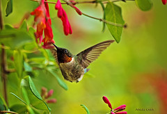 Ruby-Throated Hummingbird (Angel Cher ) Tags: hummingbird rubythroatedhummingbird angelcher
