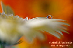 """On Angel Wings"" (Marisol Fernandez Photography) Tags: orange flower reflection water beautiful waterdrop calming refraction inspirational heavenly tranquil angelwings macrophotography whitedaisy nikkor105mmlens nikond800 marisolfernandezphotography filipinoamericanphotographer"