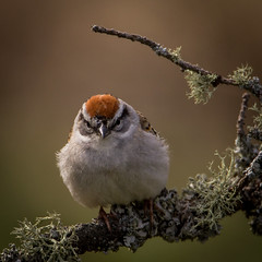 Chipping Sparrow (Spizella passerina)_6457 (johndykstraphotography) Tags: nature birds whitefishpoint wildbirds chippingsparrowspizellapasserina miigan michiganupperpnninsula