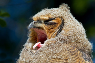 Day at the Opera  - Great Horned Owlet, Ottawa, Canada