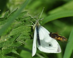 Small White Butterfly (Pieris rapae) and Hoverfly (Helophilus pendulus) (marmendy mill) Tags: macro closeup butterfly bug insect photo nikon butterflies lepidoptera 1001nights mariposa essex hoverfly greenleaf syrphidae pierisrapae rochford smallwhite magnoliapark helophiluspendulus