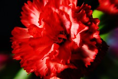 Red Carnation (alyrees) Tags: life flowers light red white flower color colour macro green nature up dark lens petals stem nikon focus colorful close natural colourful carnation dslr d3100