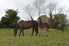 Molly and Foal of 8 weeks (ronmcbride66) Tags: foal coth supershot dragondaggerphoto sunrays5