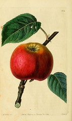 n43_w1150 (BioDivLibrary) Tags: fruitculture greatbritain periodicals umassamherstlibrariesarchiveorg bhl:page=21999476 dc:identifier=httpbiodiversitylibraryorgpage21999476 artist:name=augustainneswithers artist:viaf=95819243 taxonomy:binomial=malusdomestica womeninscience augustainneswithers q2870951 illustrator:wikidata=q2870951 hernaturalhistory
