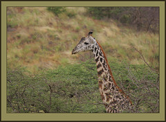 Head for heights. (Rainbirder) Tags: giraffe keny giraffacamelopardalistippelskirchi masaigiraffe tsavowest rainbirder