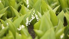 Lily of the valley (DENTIST SS) Tags: 50mm asahi takumar russia sony magic charm m42 fascination smc muguet glamor allure 5014 loveliness a55 2013 supermulticoated 14 smctakumar11450mm slta55v