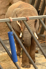 Captured Elephant in its bivouac (mamue81) Tags: dresden flamingo lion sachsen zebra giraffe hungry zoologischergarten maus lwe pavian knochen faultier zoodresden dresdnerzoo kngaruh hungrg