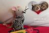 50 - Sleeptight Bob Cat (princesspink 77) Tags: cats cat death tabby goodbye