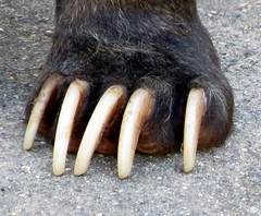 Bear Claw (Lucyrk in LA) Tags: bear chicago nature animal animals canon outside outdoors photography zoo photo spring scary paw sitting natural outdoor five bears fingers may sharp nails claw sit paws captive seated animalplanet lincolnparkzoo lincolnpark claws chicagobears captivity chicagoland blackbears chicagotribune chicagoil chicagoist 2013 thiswillkillyou