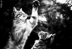 (FFabio81) Tags: bw cats white black cat canon eos jump 5d mkii