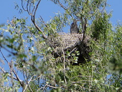 Blue Heron Rookery (rudyg39) Tags: bird heron sacramento freeport