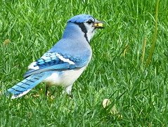 BLUE JAY with a beak-full of corn (JASO65) Tags: nature birds wildlife bluejay wildbirds backyardbirds fz150 panasonicdmcfz150