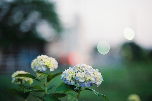 Hydrangea in the Evening