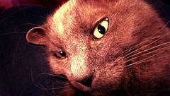 Rudely Awakened (mrhethro) Tags: sleeping cat glare sleep naptime htc htcone flickrandroidapp:filter=orangutan