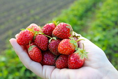 Yummy things come in small packages (kati.holt) Tags: red food fruit oregon yum farm strawberries hood greed sauvieisland