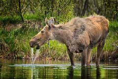 Thirsty Moose (PhotogTrekker) Tags: park county wild copyright water animal animals female landscape cow nationalpark pond wildlife parks places moose jackson credit wyoming teton jacksonhole wy copyrighted grandtetonnationalpark moosewilsonroad johnbielick photogtrekker