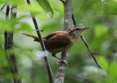 2013 06 08_4398_wren (nbc_2011) Tags: bird nature florida wren animalplanet carolinawren planetearth