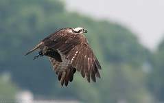 Osprey with fish (krisinct) Tags: fish bird nikon tokina tc 300 tamron f28 osprey d300 14x