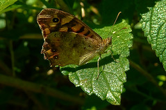 Ocres Sobre Verde (pp diaz) Tags: espaa color luz animal andaluca mariposa cdiz bicho rota insecto costaballena playadelinfante