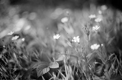 (Elena Protasova) Tags: flowers bw film nature grass horizontal 35mm garden spring nikon day bokeh nikonf3